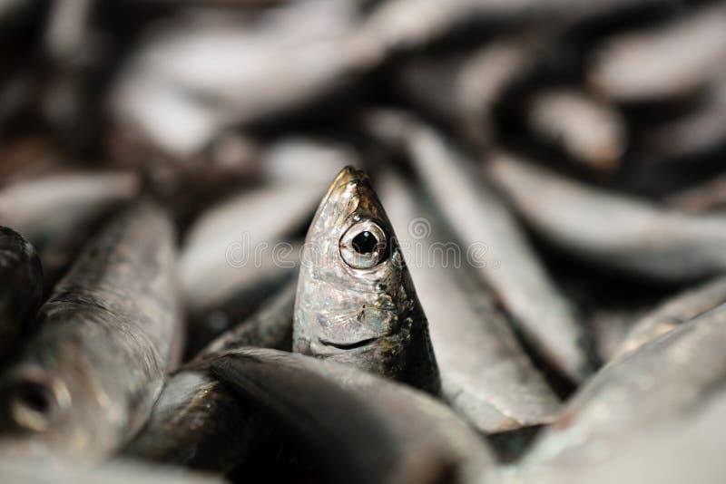 Primer de un sardina o Sardina europea Pilchardus en una pila más grande de sardinas recién pescadas alineadas para la venta en l imagenes de archivo