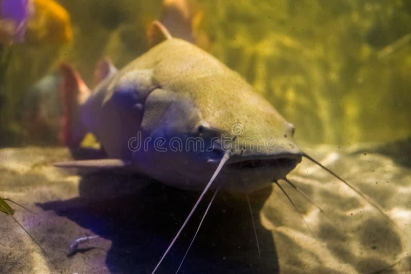 Primer de un siluro rojo coloreado blanco de la cola, pescado tropical grande del lavabo del Amazonas de América imagen de archivo libre de regalías