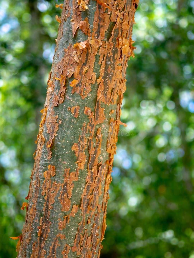 Primer de un simaruba del bursera del gumbo-limbo en el jungl mexicano fotos de archivo libres de regalías