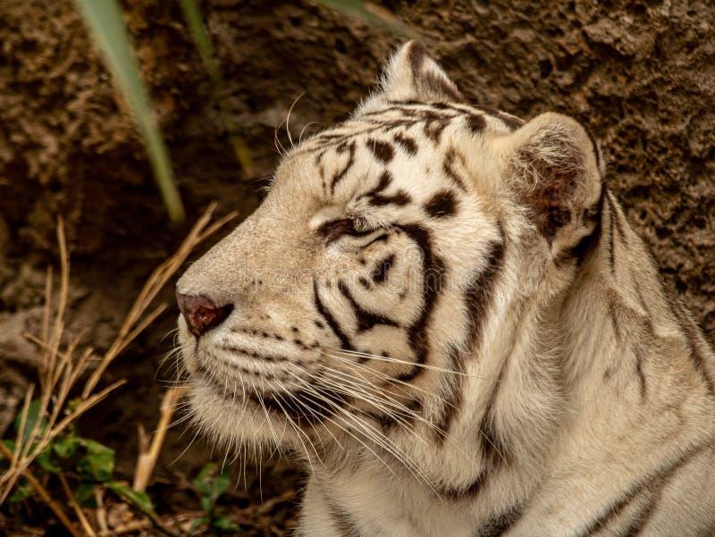 Primer de un tigre de Bengala blanco en el vagabundeo fotografía de archivo libre de regalías