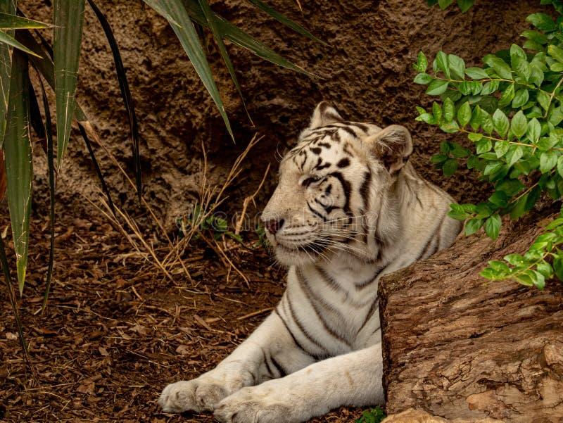 Primer de un tigre de Bengala blanco en la rotura imagenes de archivo
