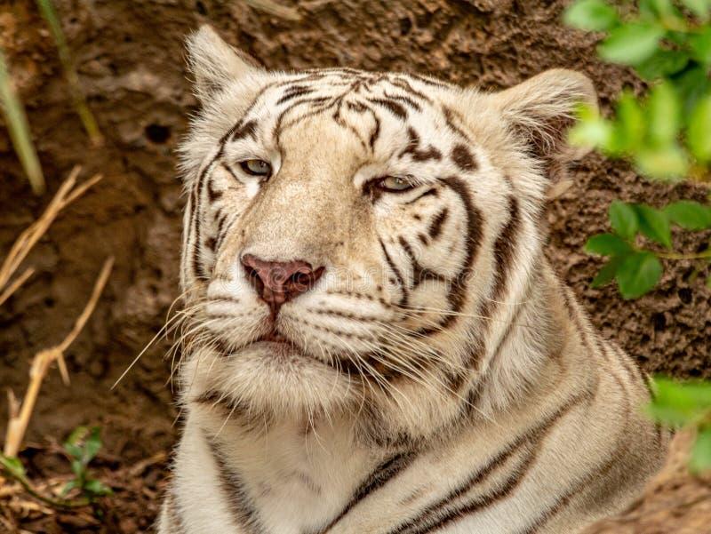 Primer de un tigre de Bengala blanco en la rotura fotografía de archivo
