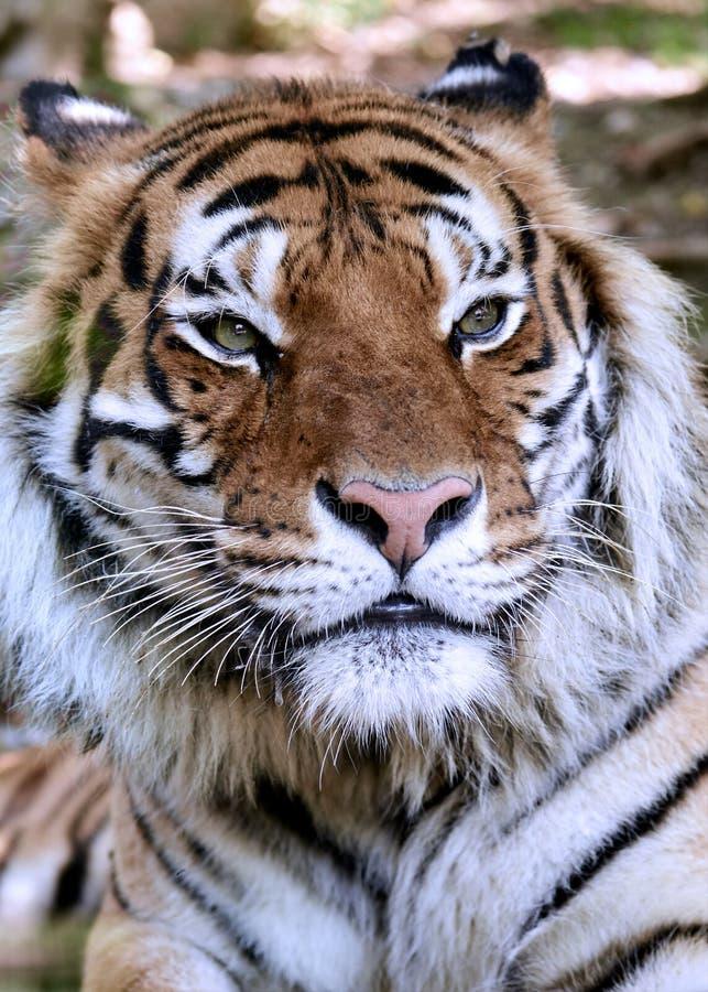 Primer de un tigre de Bengala real - Panthera el Tigris el Tigris fotografía de archivo libre de regalías