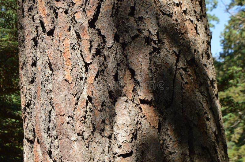 Primer de un tronco del pino con la corteza oscura en un día de verano soleado imagenes de archivo