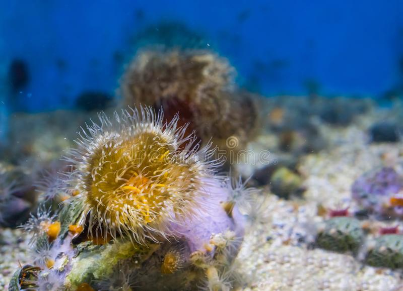 Primer de una anémona de mar plumosa con los colores amarillos y blancos, fondo de la vida marina fotos de archivo