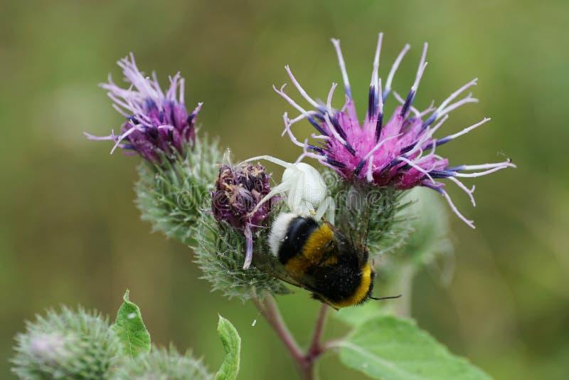 Primer de una araña caucásica floral y de un abejorro imagen de archivo libre de regalías