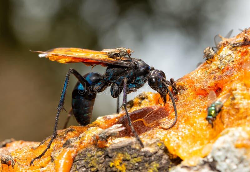 Primer de una avispa azul oscura hermosa del halcón de la tarántula con las alas anaranjadas imágenes de archivo libres de regalías