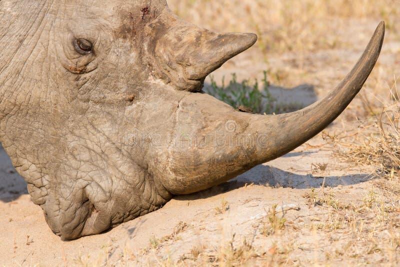Primer de una cabeza blanca del rinoceronte con una piel arrugada dura fotos de archivo