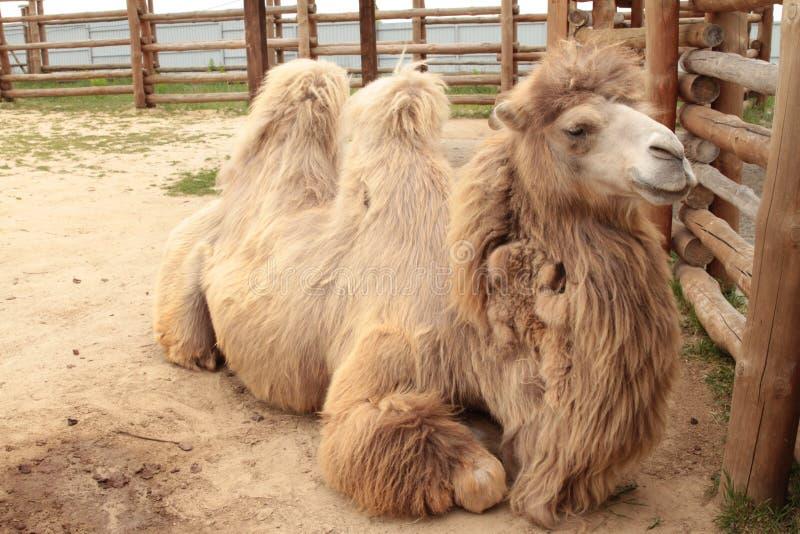 Primer de una cabeza del camello imágenes de archivo libres de regalías