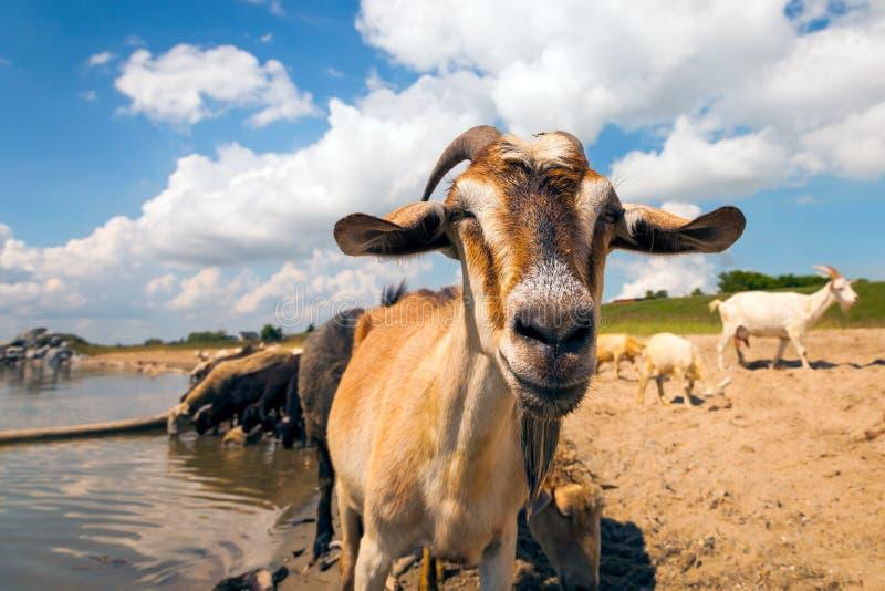 Primer de una cabra marrón foto de archivo libre de regalías