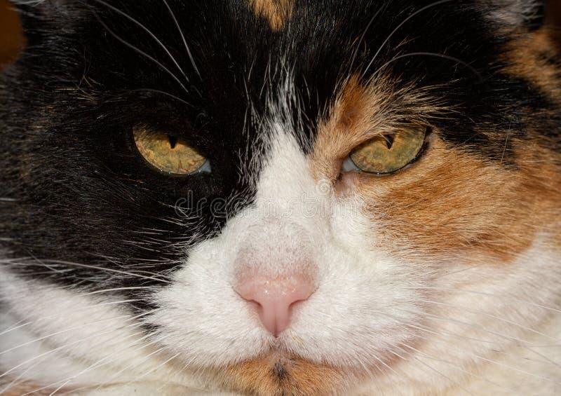 Primer de una cara del gato de calicó imagen de archivo