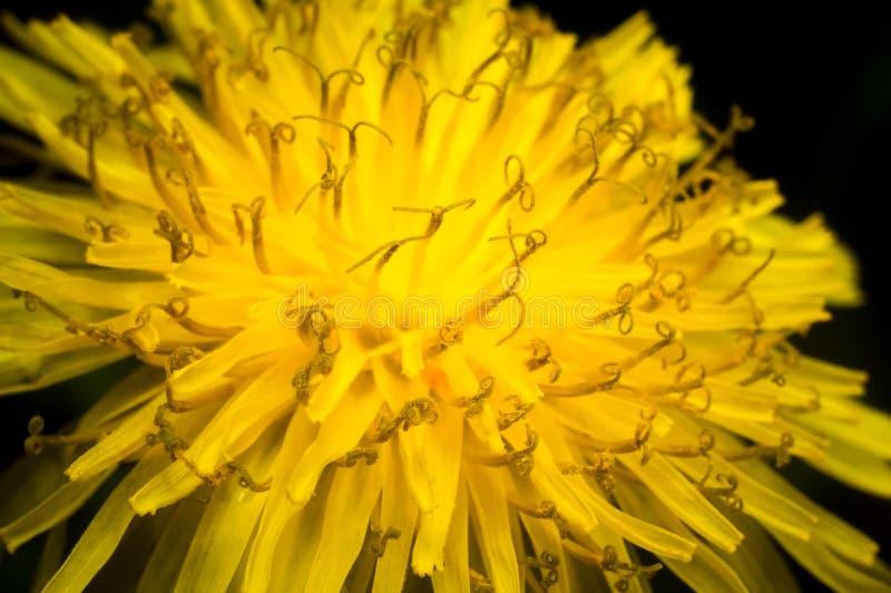 Primer de una flor amarilla del diente de león imagenes de archivo
