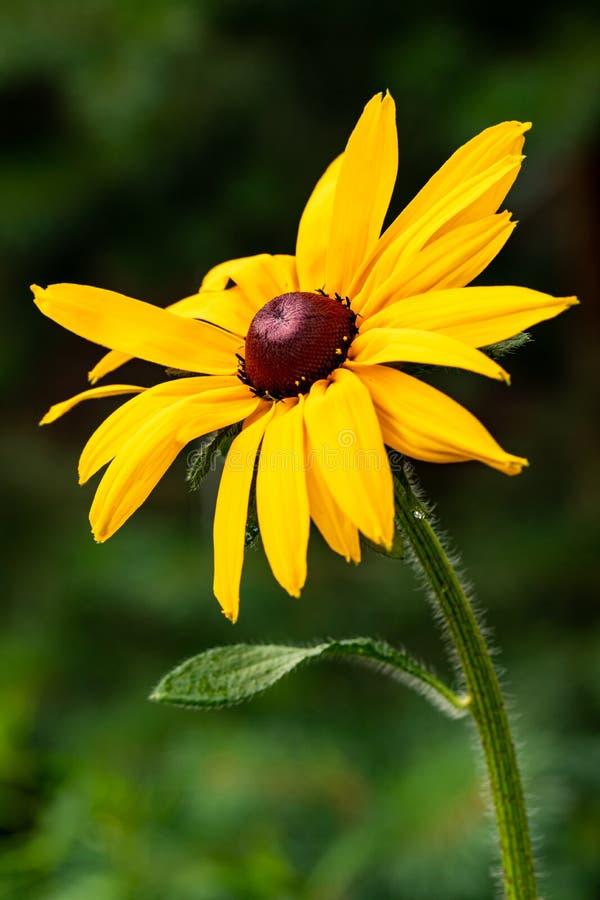 Primer de una flor amarilla en un fondo verde natural borroso Flor amarilla con un centro rojo marrón, como una margarita imagen de archivo libre de regalías