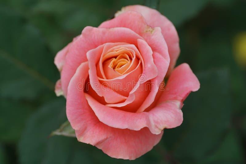 Primer de una flor color de rosa del té blanco y rosado foto de archivo libre de regalías