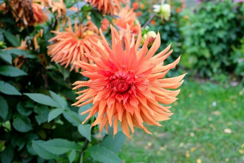 Primer de una flor de la dalia con los pétalos multicolores, variando de rojo y de rosado a la naranja y al melocotón/a los tonos fotografía de archivo libre de regalías