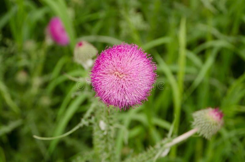 Primer de una flor del cardo entre la hierba verde fotografía de archivo libre de regalías