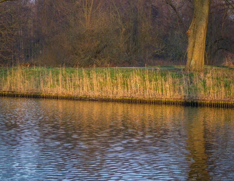 Primer de una franja de cañas en los colores del otoño vistos del agua imagen de archivo