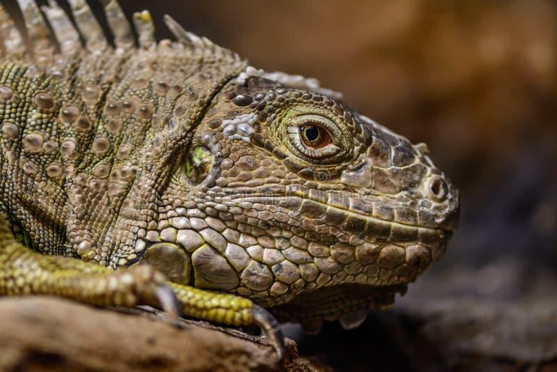 Primer de una iguana verde Rept verde tranquilo y hermoso de la iguana imagen de archivo libre de regalías