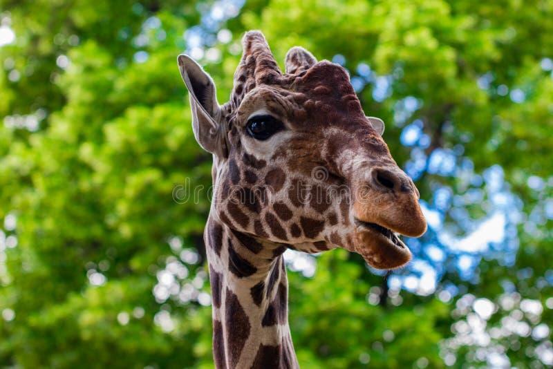 Primer de una jirafa delante de algunos árboles verdes, mirando t fotos de archivo libres de regalías