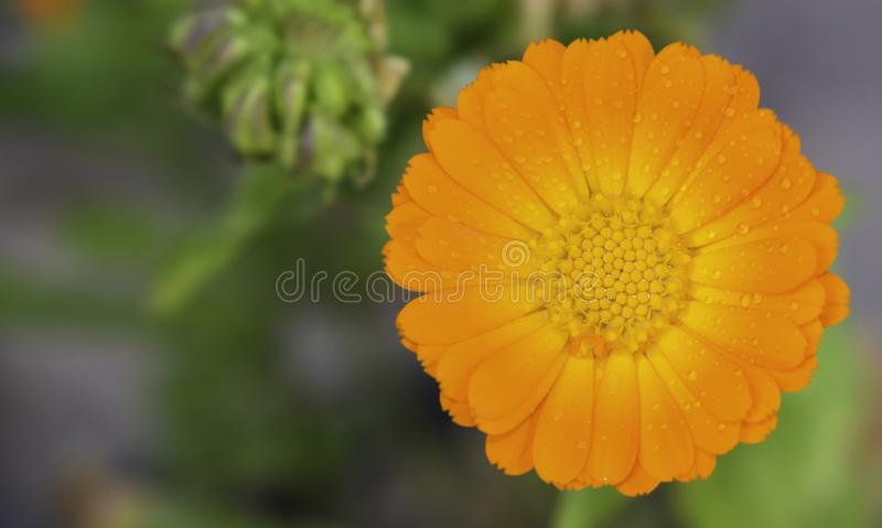 Primer de una margarita anaranjada del color imagen de archivo