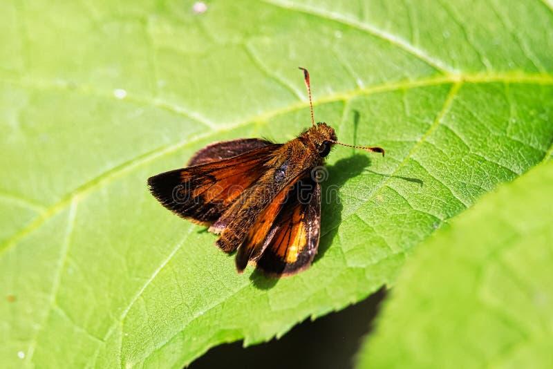 Primer de una mariposa europea del capitán en una hoja imagenes de archivo