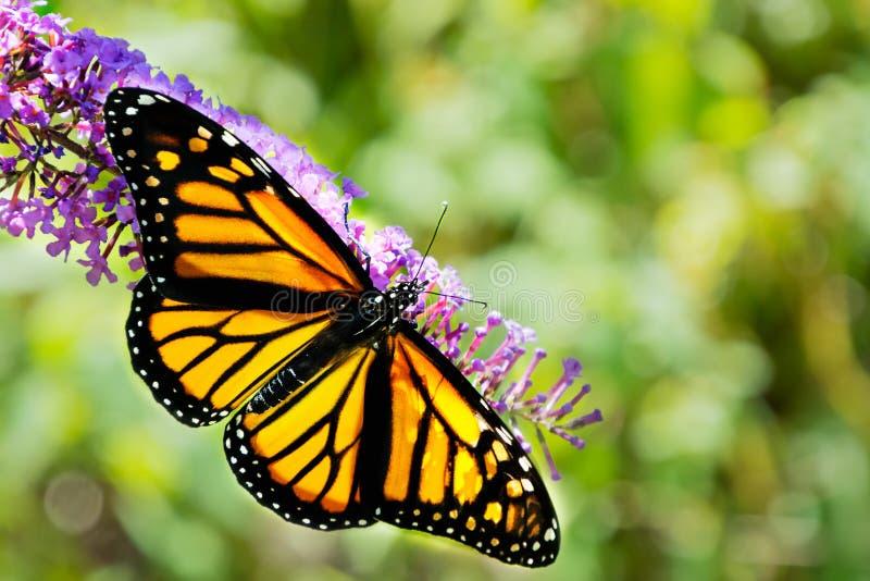 Primer De Una Mariposa De Monarca Hermosa Con Las Alas Separadas ...
