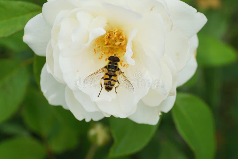 Primer de una mosca caucásica amarillo-negra hoverfly del género D imagenes de archivo
