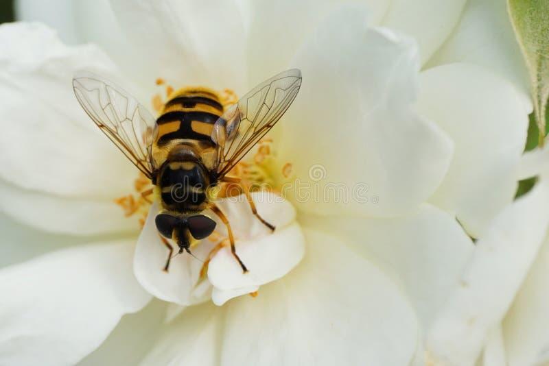 Primer de una mosca caucásica floral hoverfly del género Dasysyr imagen de archivo