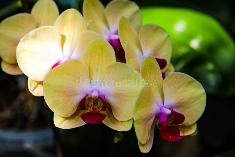 Primer de una orquídea amarilla con los puntos rosados imágenes de archivo libres de regalías