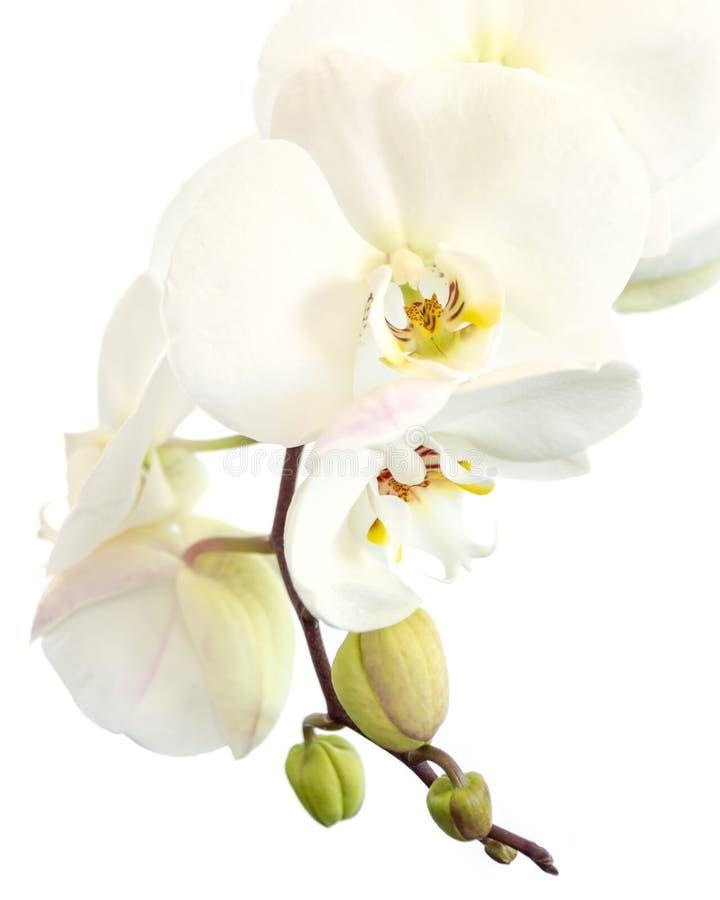 Primer de una orquídea blanca del phalaenopsis en aislado en blanco fotos de archivo libres de regalías