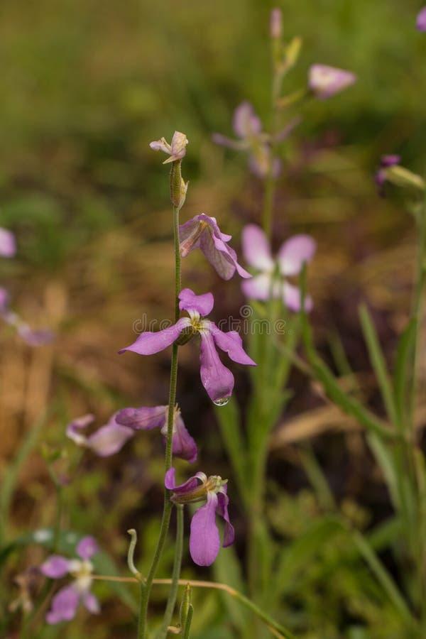 Primer de una pequeña flor violeta foto de archivo libre de regalías