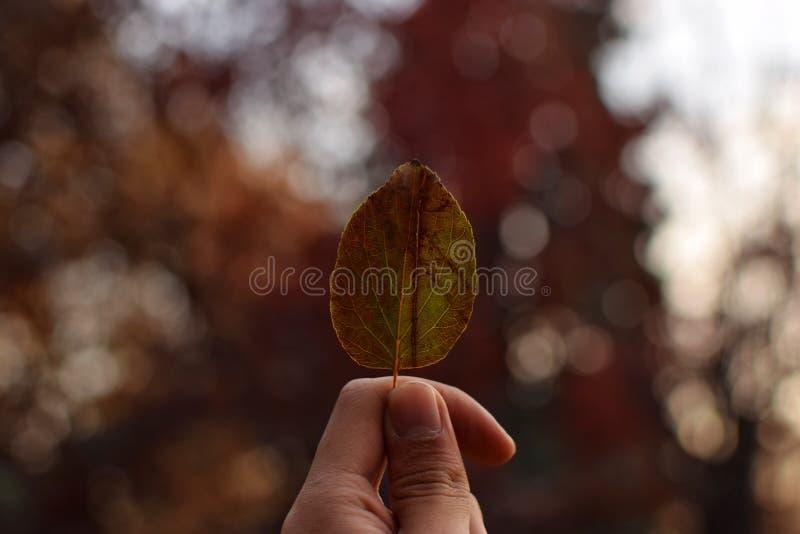 Primer de una persona que sostiene una pequeña hoja del otoño con un fondo natural borroso imagenes de archivo
