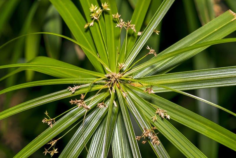 Primer de una planta/de una flor hermosas del papiro del Cyperus fotos de archivo libres de regalías