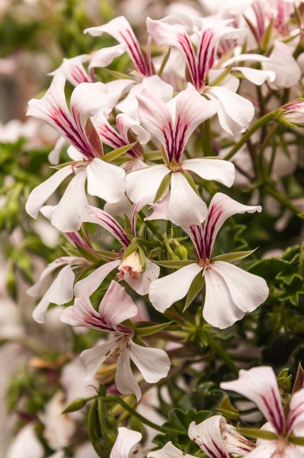 Primer de una planta floreciente hermosa del Pelargonium en verano imagenes de archivo