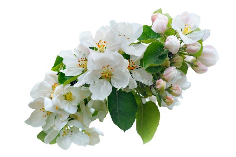 Primer de una rama floreciente del manzano con las flores del rosa y blancas aisladas en un fondo blanco fotografía de archivo