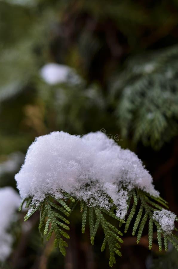 Primer de una rama nevada de un árbol de navidad en el fondo de un cielo azul hermoso con un fondo suave imagen de archivo libre de regalías