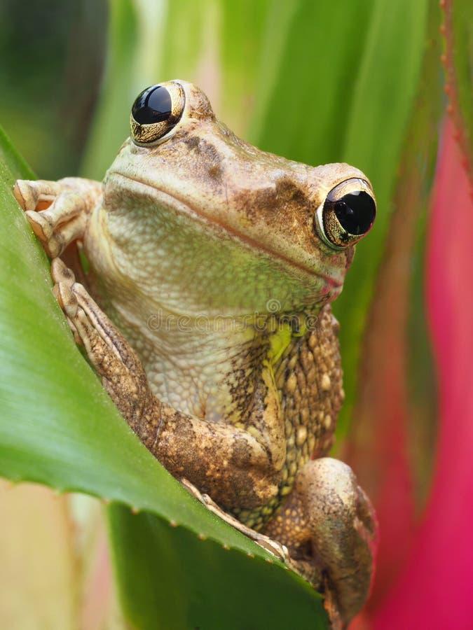 Primer de una rana arbórea cubana en una bromelia imagen de archivo