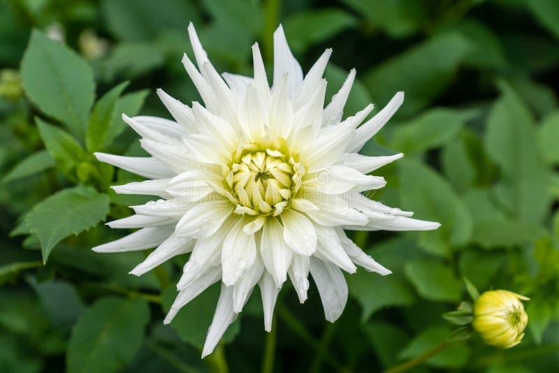 Primer de una sola flor blanca de la dalia foto de archivo libre de regalías