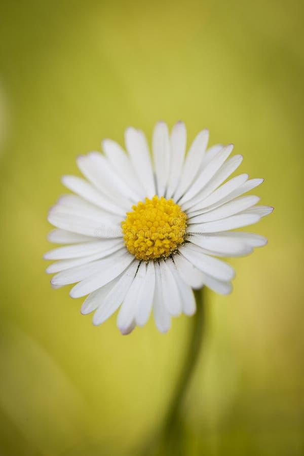 Primer de una sola flor de la margarita imagen de archivo libre de regalías