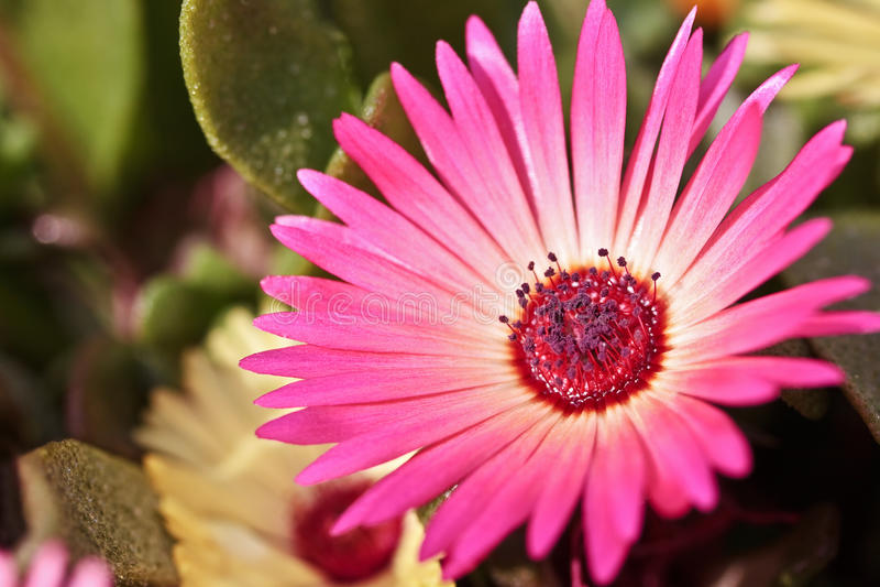 Download Primer De Una Sola Flor Hermosa De La Margarita Foto de archivo -  Imagen de