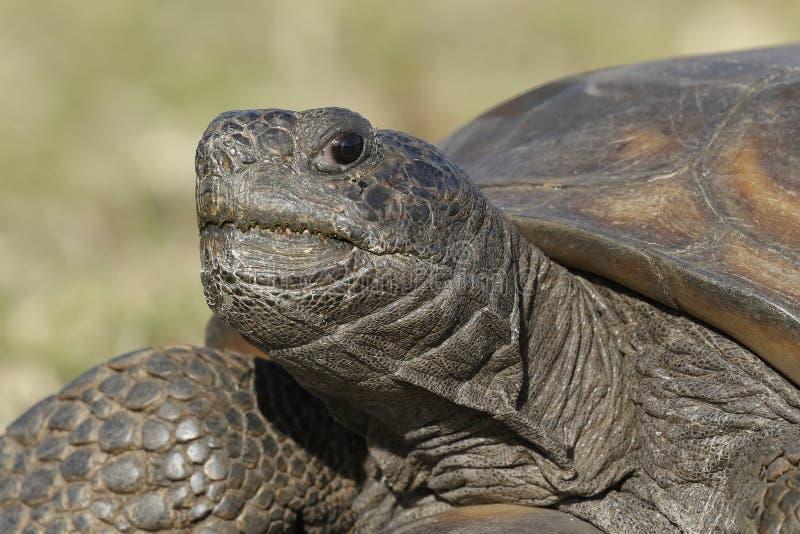 Primer de una tortuga de Gopher en peligro imagenes de archivo