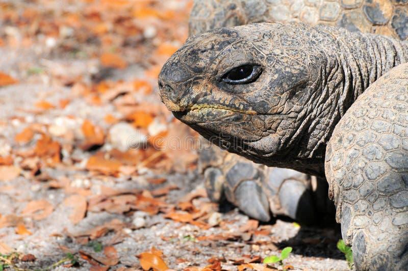 Primer de una tortuga de las Islas Gal3apagos imágenes de archivo libres de regalías