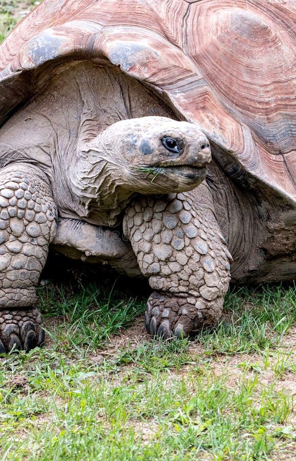 Primer de una tortuga gigante fotos de archivo