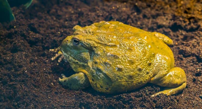 Primer de una vista lateral de la rana mugidora africana, anfibio tropical grande de África imagen de archivo libre de regalías
