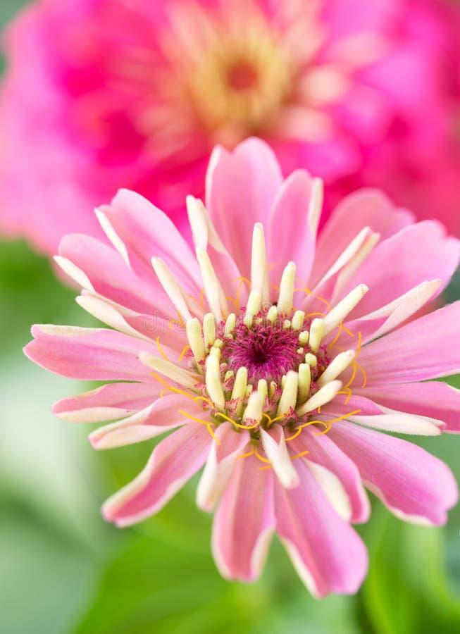 Primer de Zinnias rosados preciosos fotografía de archivo