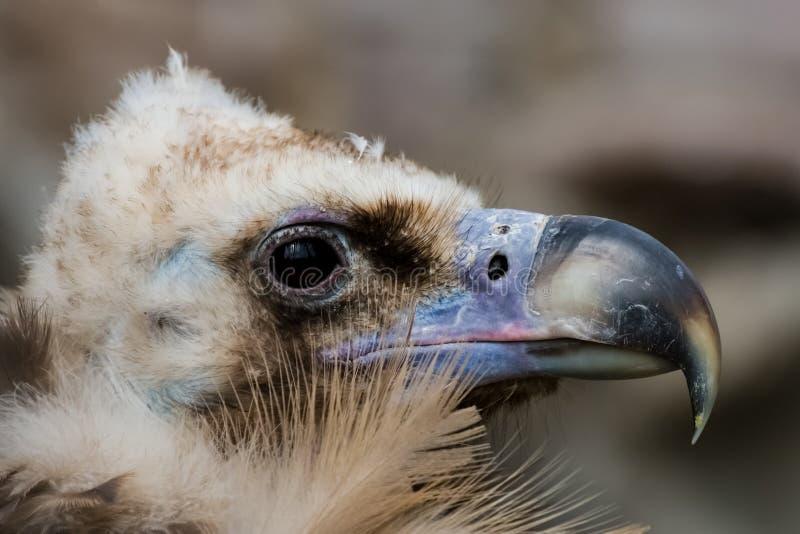 Primer del águila del pájaro, cabeza del águila y pico imagen de archivo libre de regalías