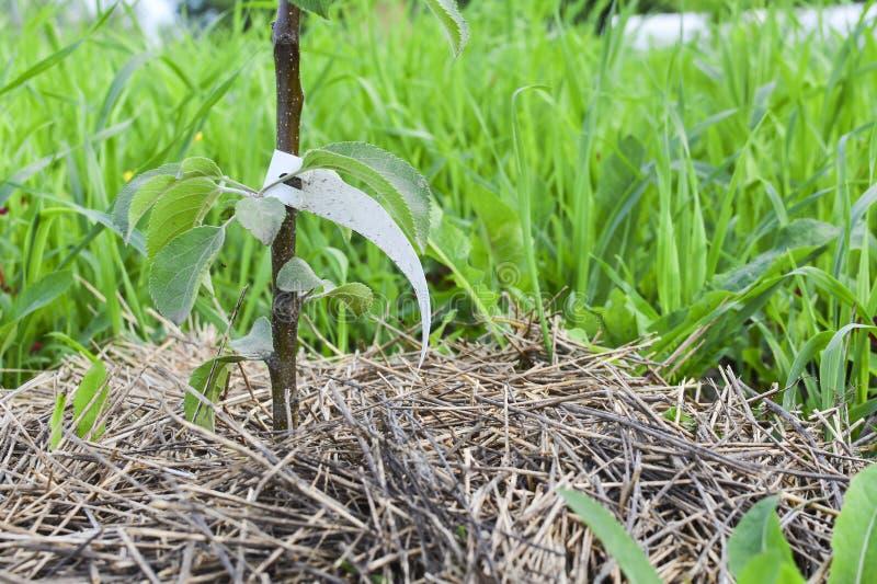 Primer del árbol frutal del árbol joven Árbol frutal joven con la etiqueta de papel en el tronco imágenes de archivo libres de regalías