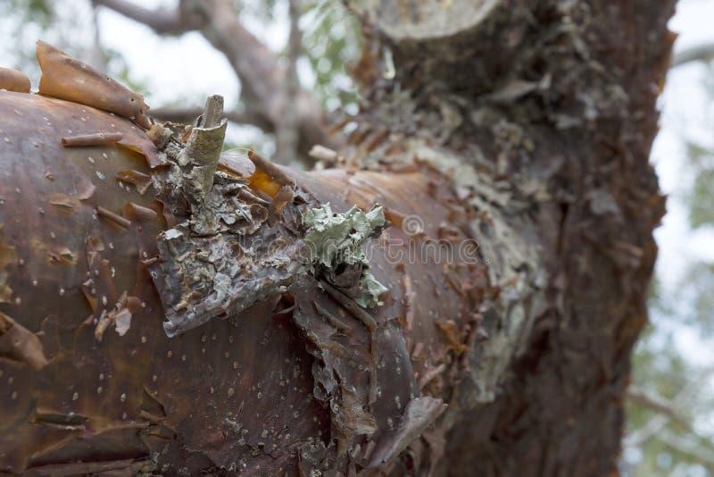Primer del árbol del limbo del Gumbo con la peladura de la corteza y de Lichen Detail rojizos fotos de archivo