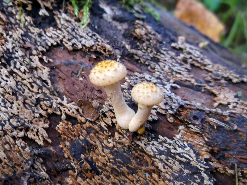 Primer del agárico de la miel Autumn Mushrooms imágenes de archivo libres de regalías