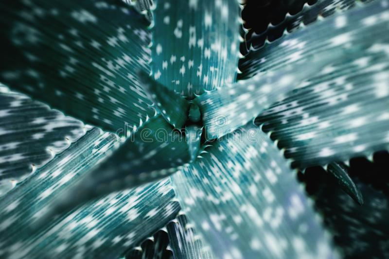 Primer del agavo del Caribe Hoja verde tropical ?rbol bot?nico foto de archivo libre de regalías